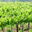 Sun-drenched vineyards — Stock Photo