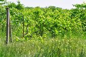 Abandoned vineyards — Stock Photo