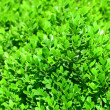 Young shoots of boxwood — Stock Photo #30422551