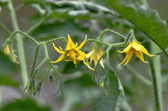 Flowers of tomato ready for pollination — Stock Photo