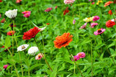 Zinias at summer garden — Stock Photo