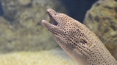 Mediterranean moray (Muraena helena) opens and closes the mouth — Stock Video