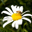 Stock Photo: Bee on camomile collects honey