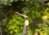 Vážka na povaze, makro — Stock fotografie