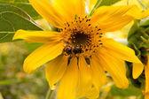 La abeja en una girasol recoge miel — Foto de Stock
