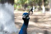 Peacock portrait — Stock Photo