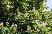 Blooming chestnuts — Stock Photo