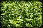Groene bladeren op de bush als achtergrond — Stockfoto