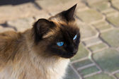 Siamese cat with dark blue eyes a portrait — Stock Photo