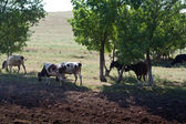 Herd of cows under trees — ストック写真