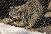 Raccoon in a cage at the zoo — Stock Photo