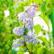 Lilacs on nature — Stock Photo #12690042