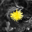 Royalty-Free Stock Photo: Yellow dandelion in black and white grass