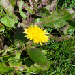 Close up of single yellow dandelion on a dark green grass backgr — Stock Photo