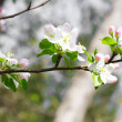Stock Photo: apple blossom&quot