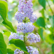 Lilacs on nature — Stock Photo #12691934