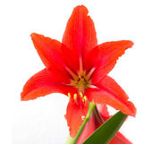 Red flower on a white background — Foto de Stock