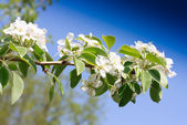 Branches of a blossoming apple-tree against the blue sky — Stock Photo