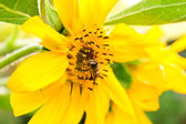 The bee on a sunflower collects honey — Stock Photo