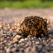 Manure of a horse with flies on the nature — Stock Photo