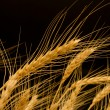 Ears of ripe wheat on a black background — Foto Stock