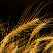 Ears of ripe wheat on black background — Stock Photo #13596274