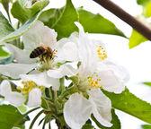 Hermosas flores de un árbol en la primavera — Foto de Stock