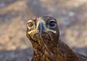 Portrait of an eagle — Stock Photo