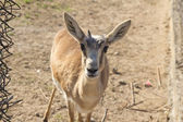 Portrait of an antelope — Stock Photo