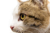 Portrait of a cat on a white background — Stok fotoğraf