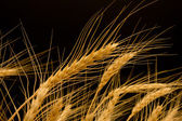 Ears of ripe wheat on a black background — Stock Photo
