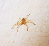Araña amarilla — Foto de Stock