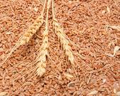 Tres espiguillas de trigo contra el grano de trigo — Foto de Stock