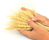 Wheat in the hands of — Stock Photo