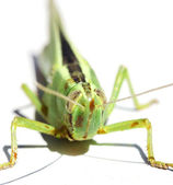 Green insect grasshopper isolated on white — Stock Photo