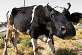 Funny closeup of a nosy black and white cow — Stock Photo