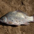 Fresh fish on a clay soil — Stock Photo