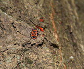 Red beetles on tree bark — Stock Photo