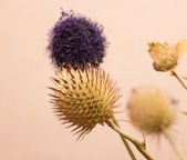 Round dry flower — Stock Photo
