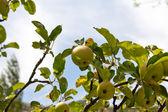 在性质上的树上的苹果 — 图库照片