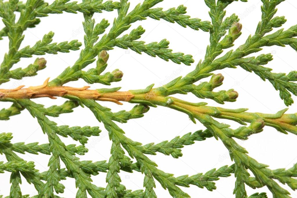 Thuja on white background. macro — Stock Photo #17355615
