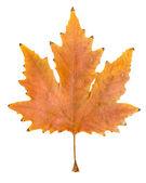 Beautiful autumn leaf — Stock Photo