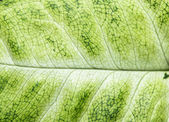 Green leaf as background. macro — Stockfoto