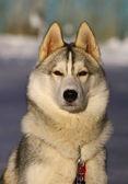 Köpek doğurmak siberian dış yapraklar — Stok fotoğraf