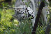 Siberian Husky chews branch — Stockfoto