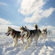 Sled dog breed SiberiHusky — Stock Photo #39398459