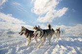 Sled dog breed Siberian Husky — Stock Photo