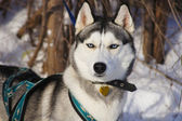 Sled dog lying in the snow — Stock Photo