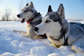 Husky sled in the snow — Stock Photo