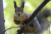 Squirrel 1 — Stock Photo